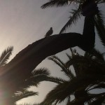 Elche - Duif en palmbomen. Rustgevend.